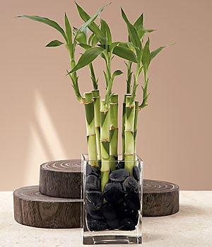 Le bambou de la chance est plus qu'une fleur porte bonheur. S'il respecte les codes Feng Shui, il contribue à l'harmonie de votre maison et de votre vie.