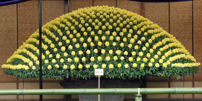 chrysantheme-japon